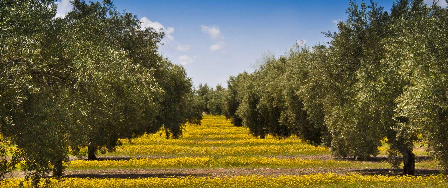 Olibaza Calidad del aceite de oliva